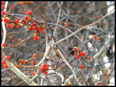 Redberries copy